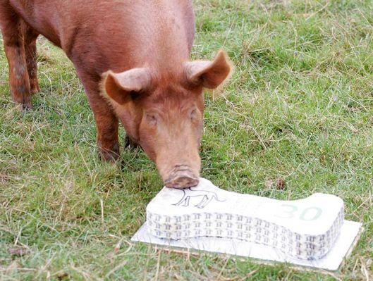 Baby pig eating cake - photo#8