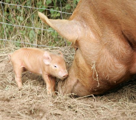 Piglets Mother  Letters