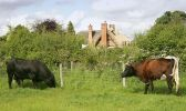 cattle-and-thatch.jpg