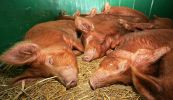 sleeping-pigs1.jpg