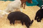 Animals at the mega market in Morisset July 2005.jpg