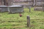 Pheasant in church Yard April 2005.jpg